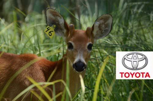 Toyota Argentina Acompañó La Reinserción De Alem, Un Ciervo De Los Pantanos En El Delta