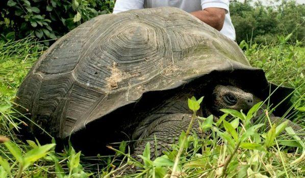 Rescatan En Perú A 29 Tortugas Galápagos En Peligro De Extinción
