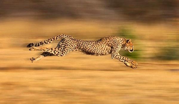 El Animal Más Rápido De La Tierra Está A Un Paso De La Extinción
