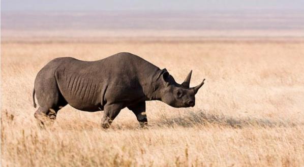 Ruanda Inicia La Repoblación De Rinocerontes 10 Años Después De Su Extinción