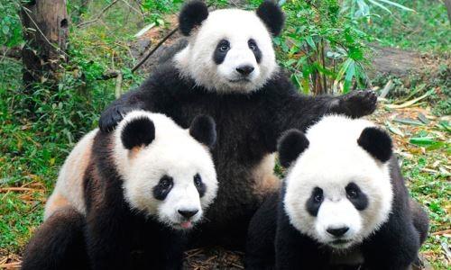 Los Pandas Fuera De Peligro