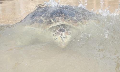 Redes De Pesca Del Camarón, Letales Para Las Tortugas