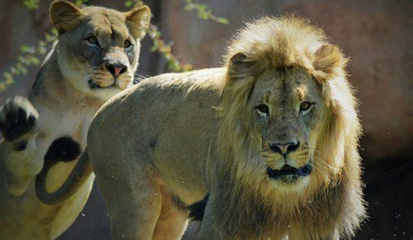 Un Cazador Mata A Uno De Los Hijos Del León Cecil En Zimbabue