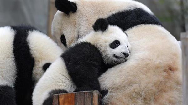 La Historia Diplomática Entre China Y Francia Detrás De Los Osos Panda