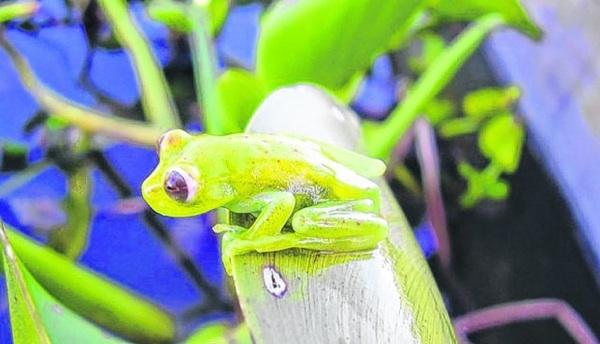 Demuestran Afección De Agroquímicos A Anfibios