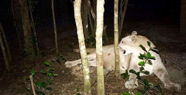 Ambiente Autorizó El Primer Traslado Internacional De Pumas
