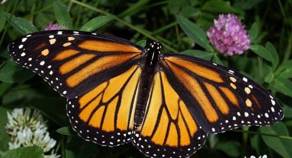 Mariposa Monarca Se Considera En Peligro De Extinción