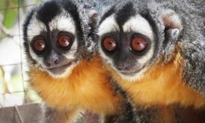 El Mono Nocturno Pasa A Ser Una Especie Vulnerable