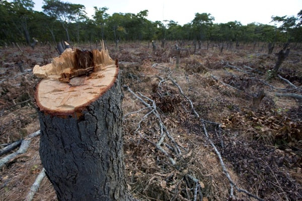 Slash and burn for subsistence agriculture in Northern Zambia