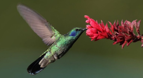 El Colibrí, ¿una Especie En Peligro De Extinción?