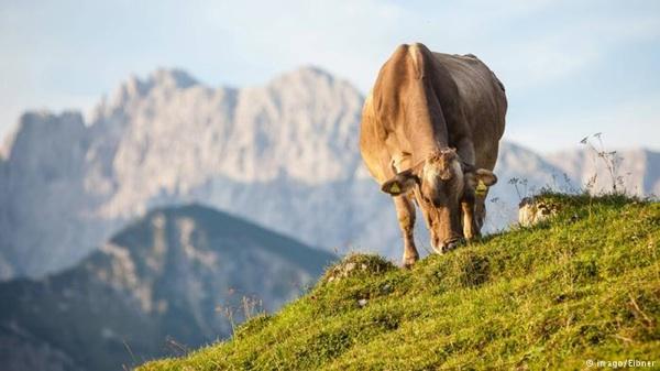 ¿Pueden Las Vacas Con Menos Flatulencias Ayudar Al Planeta?