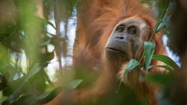 Descubierta Una Nueva Especie De Orangután