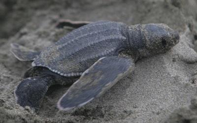 Hallan Cientos De Tortugas Marinas Muertas Frente A Costa Salvadoreña