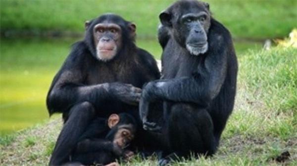 Presentaron Un Hábeas Corpus A Favor De Los Chimpancés Del Ecoparque