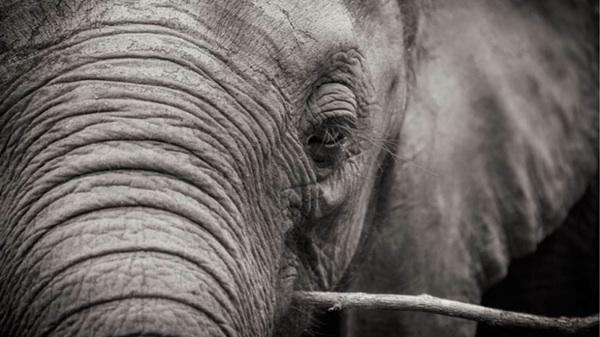 El Asesinato De Elefantes Se Reduce… Pero Muy Despacio