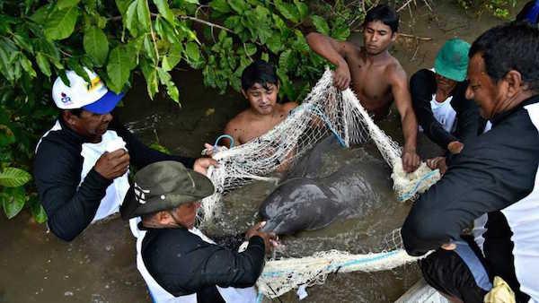 Satélites Para Seguir A Los Vulnerables Delfines Rosados De La Amazonía