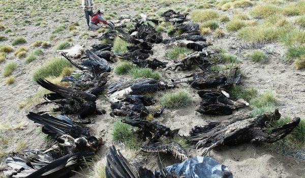 Sospechan Que 34 Cóndores Murieron Envenenados En El Sudoeste Mendocino