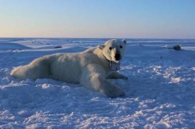 El Aumento De La Pérdida De Hielo Marino En Primavera Impide El Metabolismo Del Oso Polar