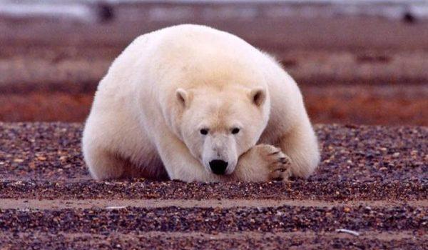 Los Cambios Climáticos Y La Evolución Del Oso Polar