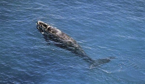 Canadá Protege A La Ballena Negra Del Atlántico Norte