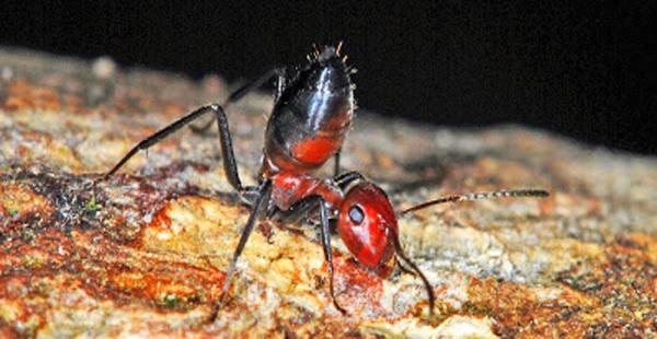 Hallan Una Hormiga Que Explota Sobre Sus Depredadores