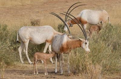 Las Guerras Del Sáhara Y El Sahel Amenazan A La Fauna De La Región