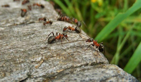 Expansión De Hormigas: Una Consecuencia Imprevista De La Globalización