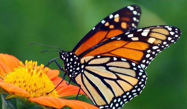 Las Mariposas Que Se Extinguieron Cuando Se Marchó El Hombre