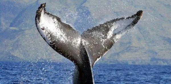 Pescadores Japonenes Matan 333 Ballenas