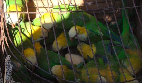 El Tráfico De Aves, Un Negocio Millonario Que Intentan Controlar En El País