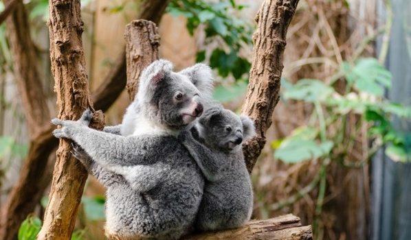 La Genética De Los Koalas Hace Imprescindible Su Conservación