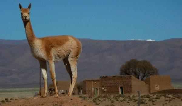 Lineamientos Para Un Plan De Conservación Y Uso Sustentable De Vicuñas En Jujuy, Argentina
