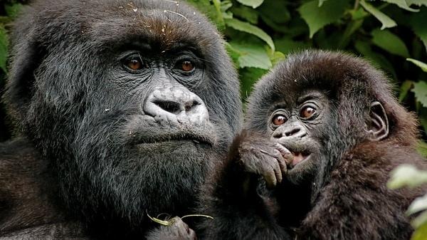 Los Gorilas Enfrentarán Grandes Riesgos Si El Congo Decide Abrir Dos Reservas A La Búsqueda De Petróleo