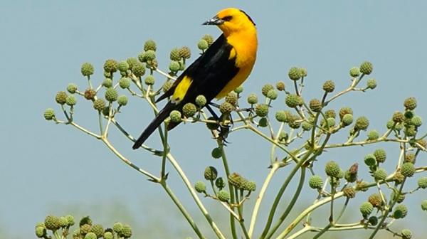 El Tordo Amarillo, El Pájaro Que Necesita Guardianes Para Seguir Volando