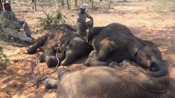 La Matanza Que Dejó Decenas De Elefantes Muertos En Botsuana, último Santuario En África Para Estos Animales