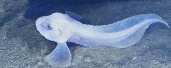 Tres Nuevas Especies, La Sorpresa Escondida En La Fosa Marina De Atacama