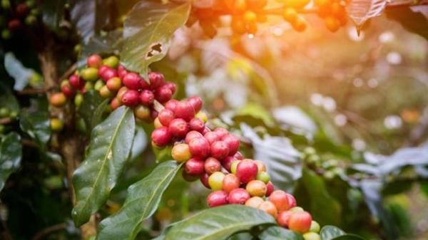 Los Científicos Latinoamericanos Que Lograron Producir Electricidad Con Desechos Del Café