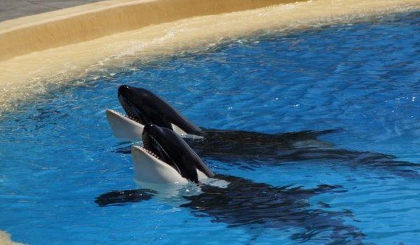 PCB, Asesino De Las Orcas
