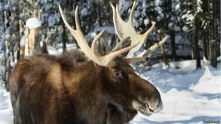 El Alce Salvaje, El Animal Que Se Beneficia Del Cambio Climático