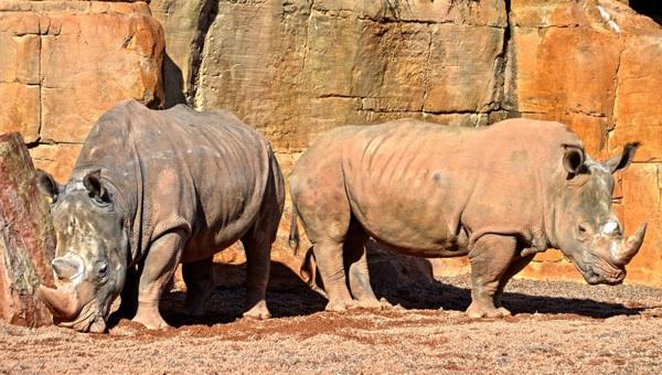 China Da Marcha Atrás Y Mantiene La Prohibición Del Comercio De Tigre Y Rinoceronte