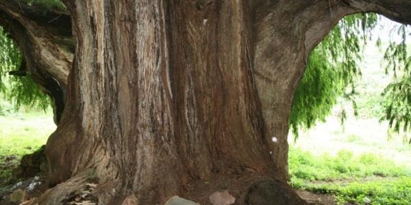 El Envejecimiento De árboles Reduce Su Capacidad Para Mitigar El Cambio Climático