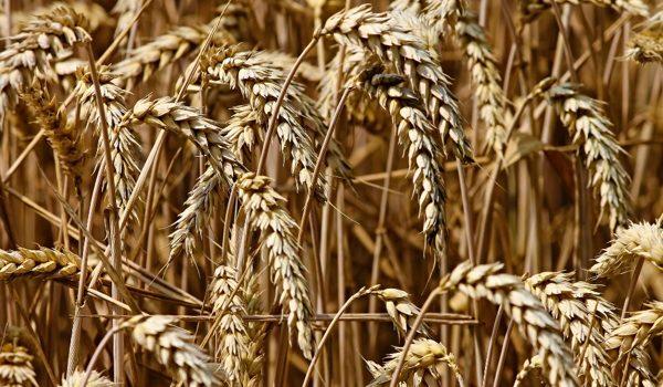 Biocompuestos Derivados Del Trigo, La Alternativa Para Dejar El Plástico