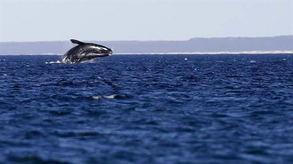 Apoyo De La AHT Para La Conservación De La Ballena Franca Austral