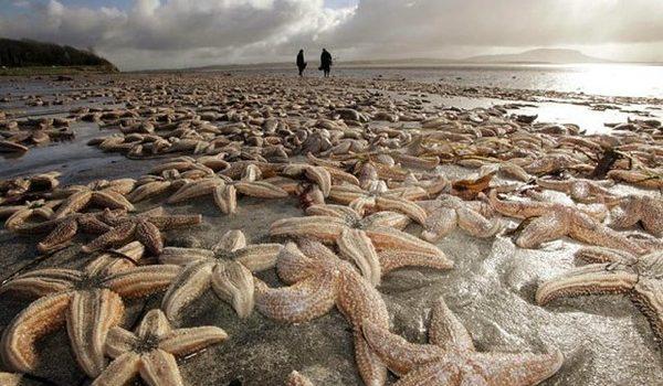 Las Estrellas De Mar Están Muriendo, El Responsable: El Calentamiento Global