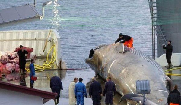 Piden Que América Latina Rechace La Caza De Ballenas En Japón