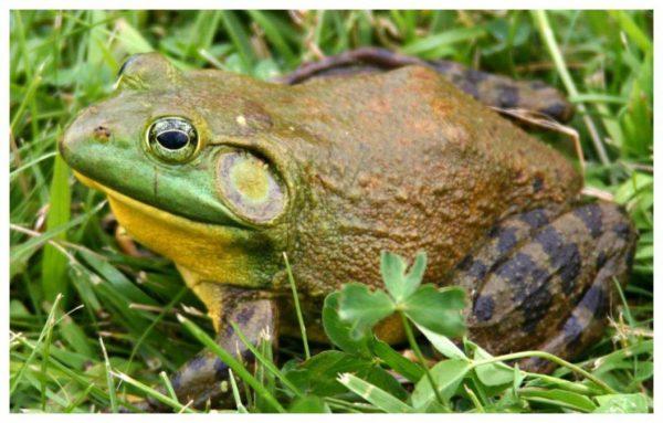 La Rana Toro fue declarada dañina para la biodiversidad de Argentina -  Argentina Ambiental